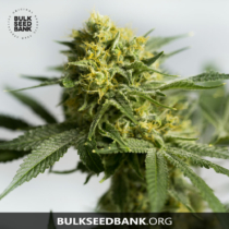 Bulk Seed Bank Auto BIGGER BUD 5 db