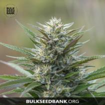Bulk Seed Bank Auto BLUEBERRY BERRY 17,5.-€-tól