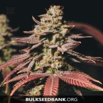 Bulk Seed Bank Auto BUBBLEGUM EXTRA17,5.-€-tól