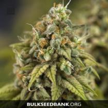 Bulk Seed Bank Auto CARAMEL KING 17,5.-€-tól