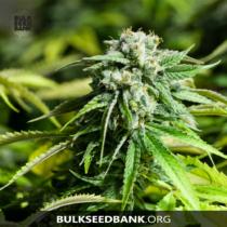 Bulk Seed Bank Auto CRITICAL 17,5.-€-tól