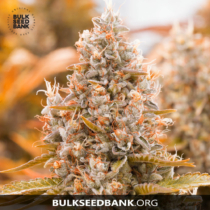 Bulk Seed Bank Auto GUERILLA GLUE 5 db