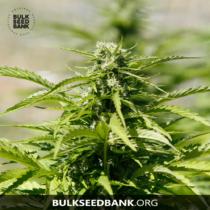 Bulk Seed Bank Auto MAZAR EXTRA 17,5.-€-tól