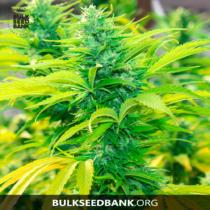 Bulk Seed Bank Auto NORTHERN LIGHT 5 db