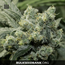 Bulk Seed Bank Auto OG KUSH 5 db