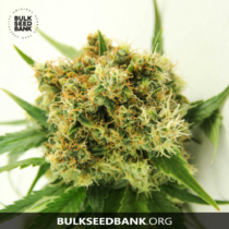 Bulk Seed Bank Auto ORIGINAL ORANGE BUD 5 db