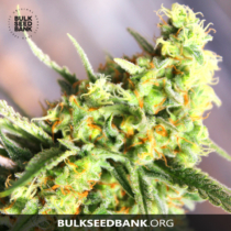 Bulk Seed Bank Auto SOUR DIESEL 17,5.-€-tól