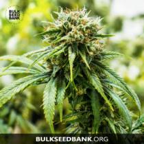 Bulk Seed Bank Auto Sunmango 17,5.-€-tól