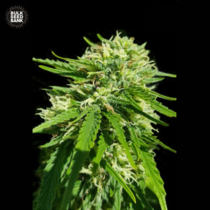 Bulk Seed Bank CBD GOOD WILD SHARK 5 db