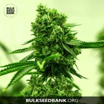 Bulk Seed Bank AMNESIA HAZE 17,5.-€-tól