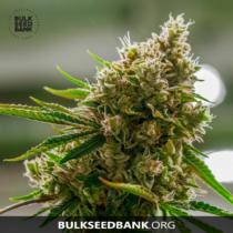 Bulk Seed Bank AMNESIA PLATINUM 5 db