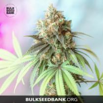 Bulk Seed Bank BIGGER BUD 17,5.-€-tól