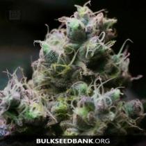 Bulk Seed Bank BLUEBERRY BERRY 17,5.-€-tól