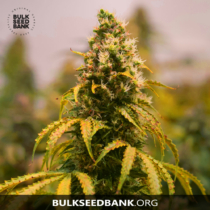 Bulk Seed Bank BUBBLEGUM EXTRA 5 db