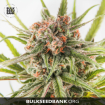 Bulk Seed Bank DARK DOMINA 17,5.-€-tól