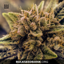 Bulk Seed Bank GUERILLA GLUE 5 db