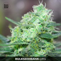 Bulk Seed Bank LIME SKUNK 5 db
