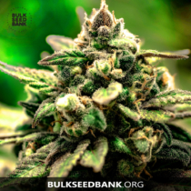 Bulk Seed Bank MAZAR EXTRA 5 db