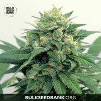 Bulk Seed Bank OG KUSH 17,5.-€-tól