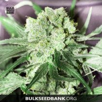 Bulk Seed Bank White Prussian 17,50,- €-tól