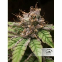 Dutch Passion Seed Company Blueberry  3 db