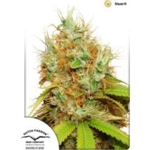 Dutch Passion Seed Company Mazar  35.- €-tól