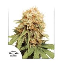 Dutch Passion Seed Company White Widow 35.-€-tól