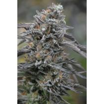 Humboldt Seed Organization Black D.O.G 3 db
