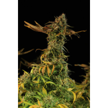 Humboldt Seed Organization Blueberry Headband 3 db