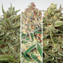 Paradise Seeds Auto collection Pack #1
