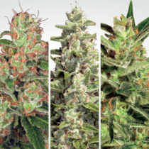 Paradise Seeds Auto collection Pack #2