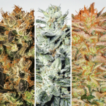 Paradise Seeds Indica Champions Pack 6 db