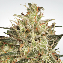 Paradise Seeds Atomical Haze 38.- €-tól