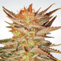 Paradise Seeds Ice Cream 32.- €-tól