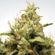 Paradise Seeds Opium 26.- €-tól