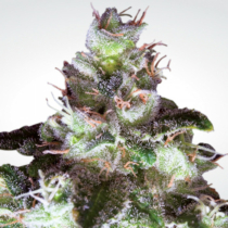 Paradise Seeds Original White Widow (IBL) 32,- €-tól