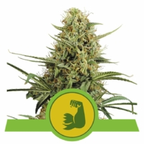 Royal Queen Seeds HulkBerry Auto 3db