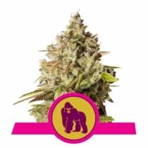 Royal Queen Seeds Royal Gorilla 10,- €-tól