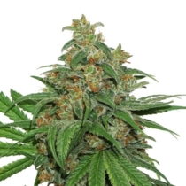 Seedstockers AK420 Autoflower 3 db