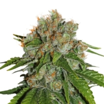 Seedstockers Amnesia Autoflower 3 db