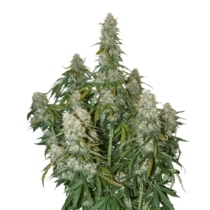 Seedstockers Big Bud Autoflower 5 db