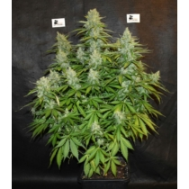 Seedstockers Blackberry Gum Autoflower 6.20.- €-tól