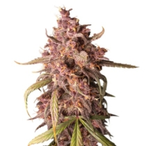 Seedstockers Purple Punch Auto 3 db