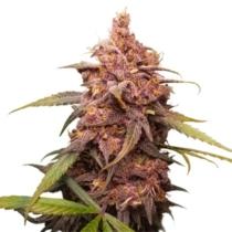 Seedstockers Purple Punch 24,- €-tól