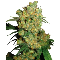 Sensi Seeds Big Bud 35.- €-tól