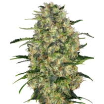 Sensi Seeds Black Domina Regular 10 db