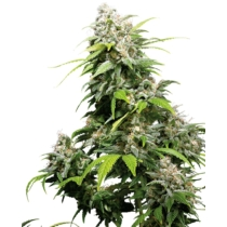 Sensi Seeds California Indica 3 db
