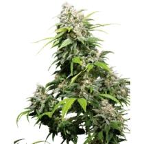 Sensi Seeds California Indica 3 db
