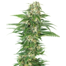 Sensi Seeds Early Skunk Auto 3 db
