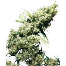 Sensi Seeds Jamaican Pearl 28.- €-tól